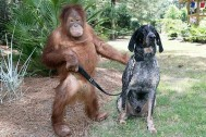 ORANGUTAN- and DOG