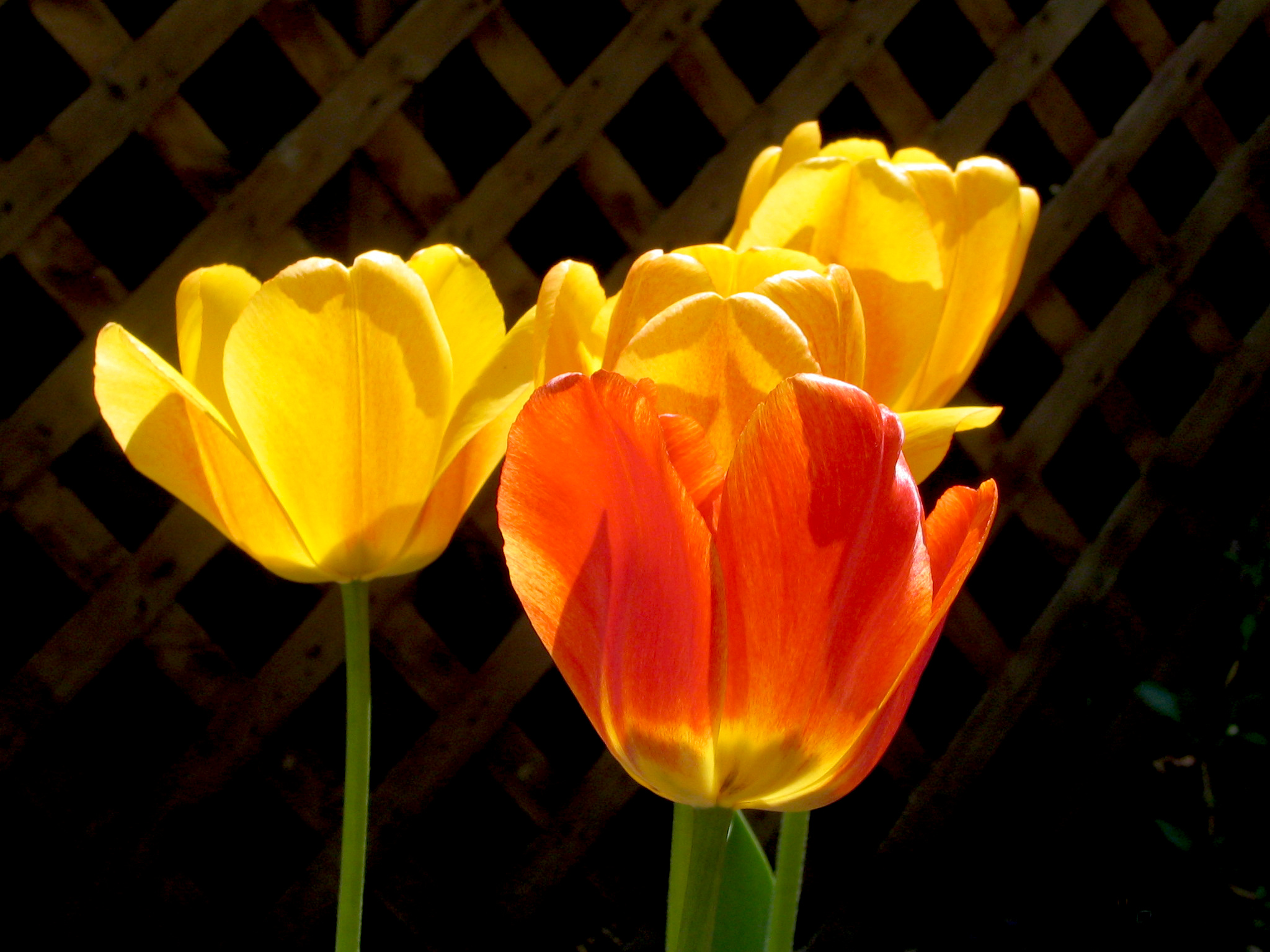 yellowredTulip